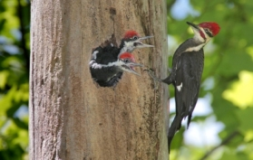 Trees as habitats woodpeckers