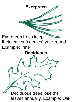 Evergreen and deciduous leaves