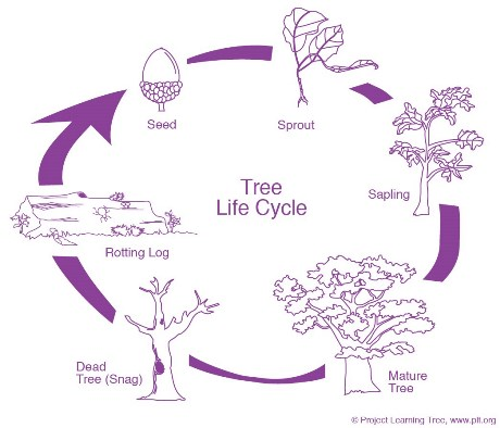 oak tree diagram stem: tree lifecycle - project learning tree