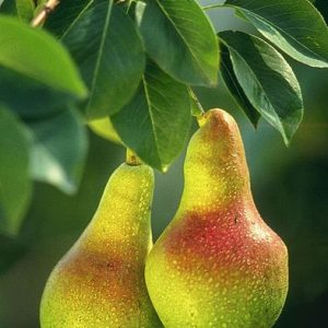 European Pear leaves and fruit