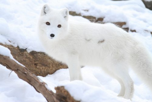 Example of active camouflage: An arctic fox blends in with its surroundings in winter