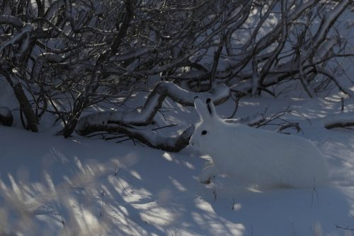 Example of active camouflage: This artic hare blends in with its surroundings in winter