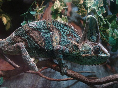 Chameleon: Active camouflage example