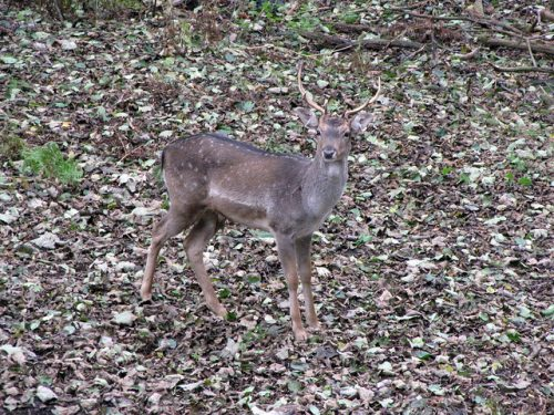 Color matching camouflage: Brown deer standing in brown leaves
