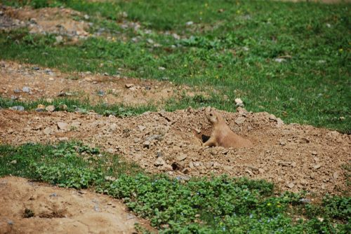 Color matching camouflage: Prairie Dog