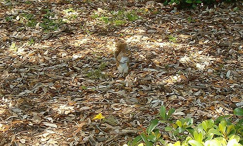 Color matching camouflage: Red squirrel blending in