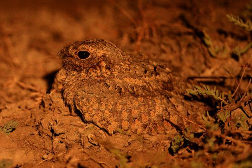 The Syke's Nightjar: a great example of disruptive coloration camouflage