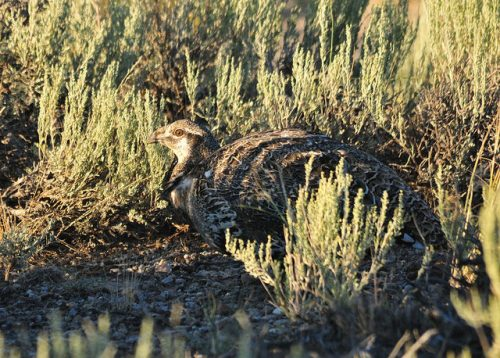 Example of disruptive coloration camouflage: Greater Sage-Grouse