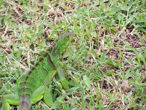 Example of disruptive coloration camouflage: Iguana