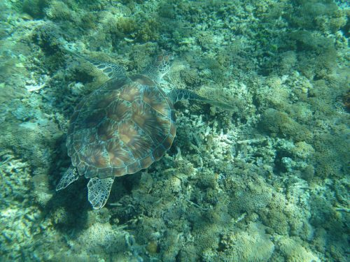 Disruptive coloration camouflage example: Turtle underwater