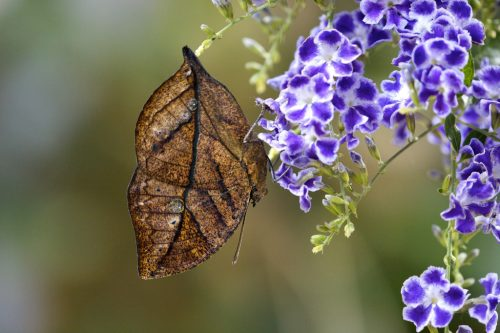 Butterfly that looks like a leaf to camouflage itself