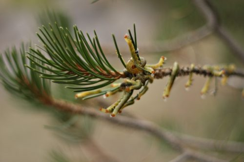 Caterpillars blend in with pine needles