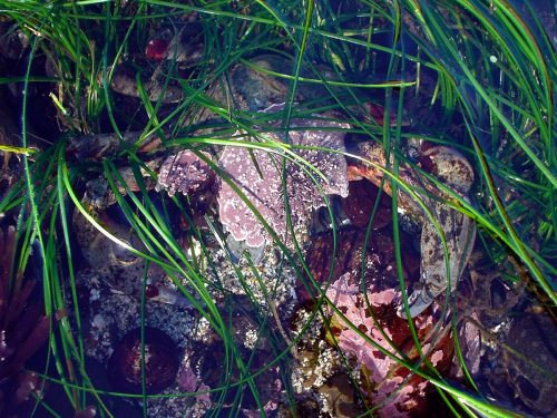 Camouflaged crab has algae on its back to blend in with its surroundings