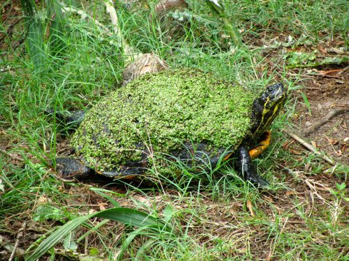 Example of self-decoration camouflage: A turtle has moss on its shell to blend in with its surroundings