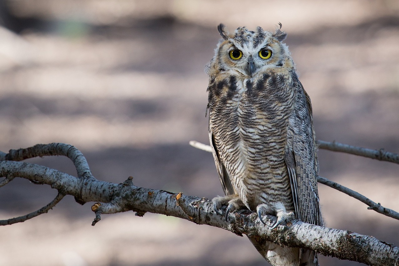 Great horned owl sitting on a branch