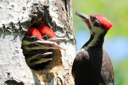 Pileated-Woodpecker-babies-in-nest-cavity