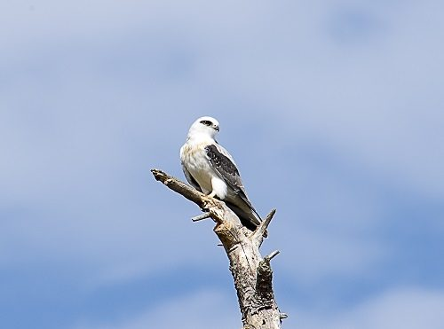 black-shouldered-kite-on-dead-tree