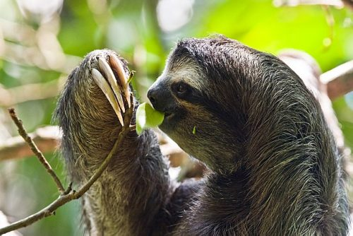 sloth eating a leaf