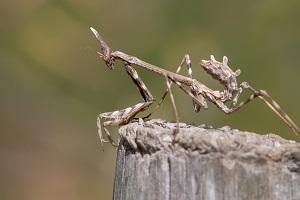 Empusa-pennata-insect