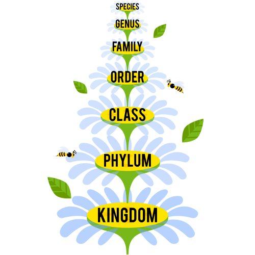 Classification system by Carl Linnaeus