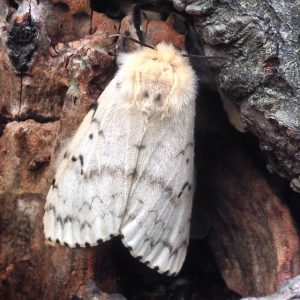 Gypsy Moth invasive species