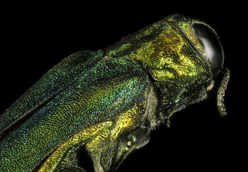 Emerald Ash Borer invasive species