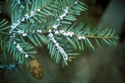 Hemlock Woolly Adelgid invasive species