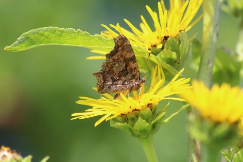 Butterfly on a yellow inula flower