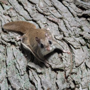 flying squirrel on a tree trunk