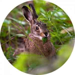 Consumer, hare