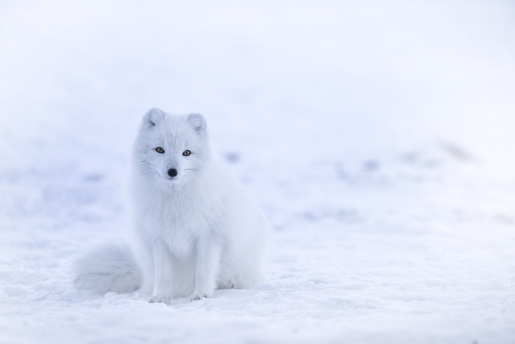 White arctic fox against a white snowy background