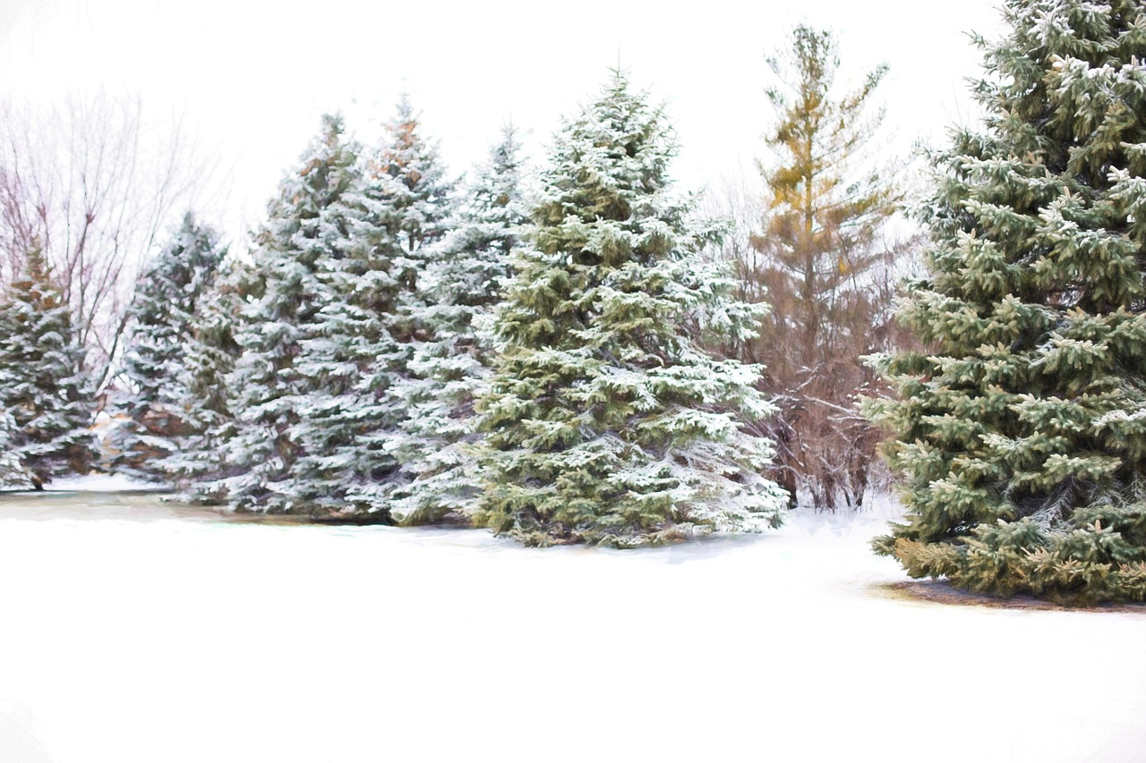 Evergreen trees in winter