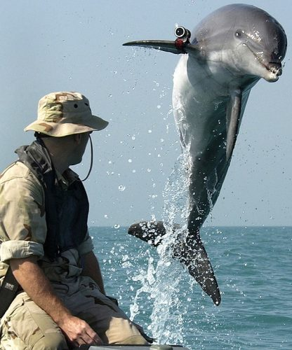 Marine biologist overlooking a dolphin with a camera attached to it jumping out of the water
