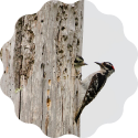 woodpecker feeding its chick inside a tree