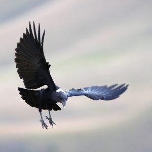 white-necked-raven-illustration