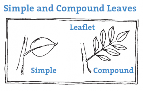 illustration for simple and compound leaves