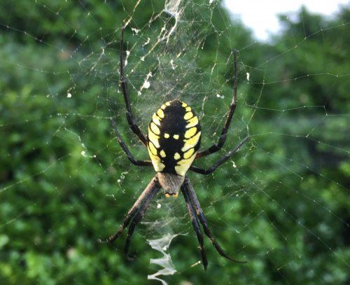 yellow-black-spider-on-web