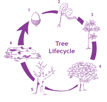 lifecycle-of-a-tree-acorn-to-mature