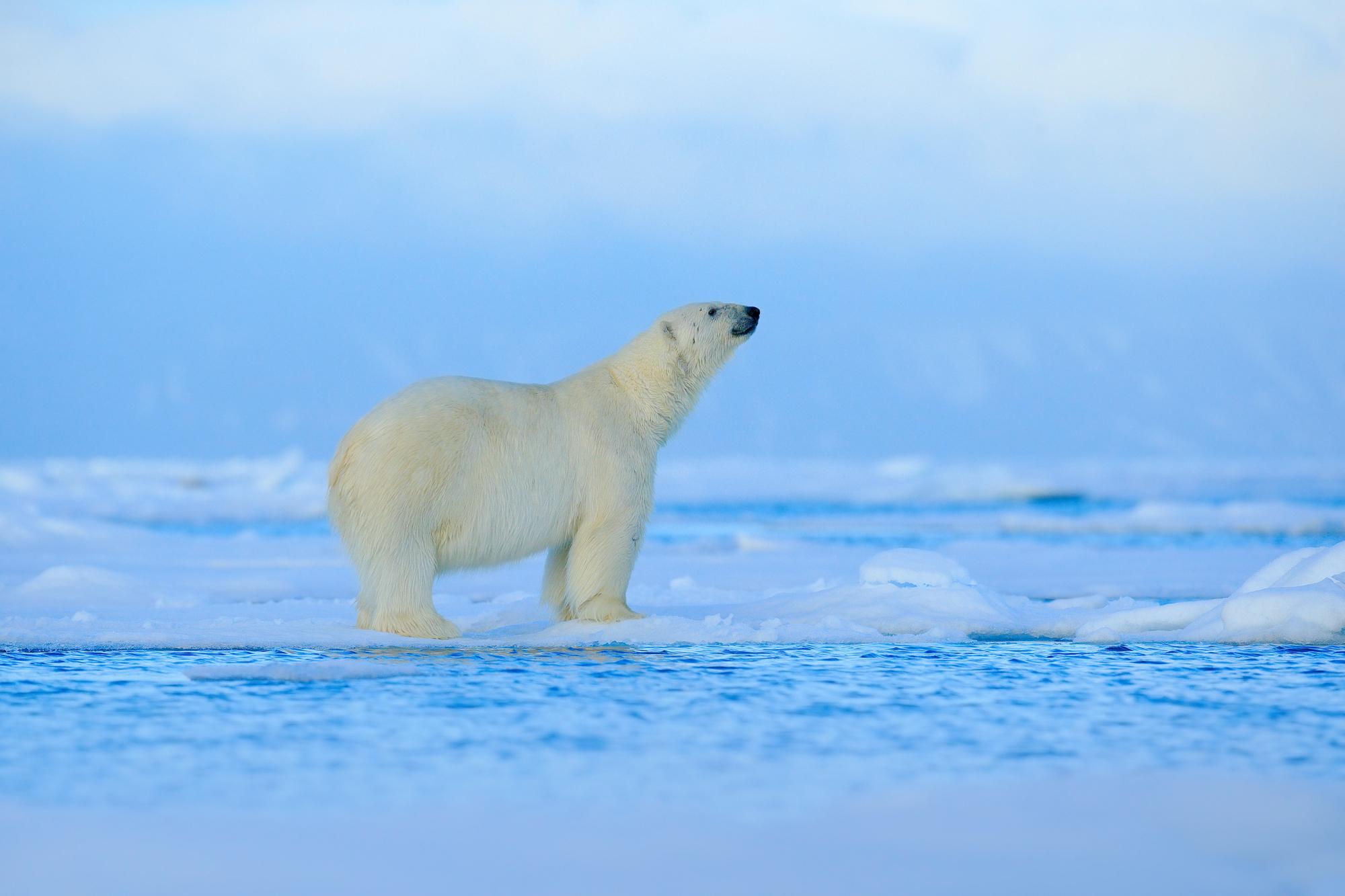 polar-bear-standing-on-ice