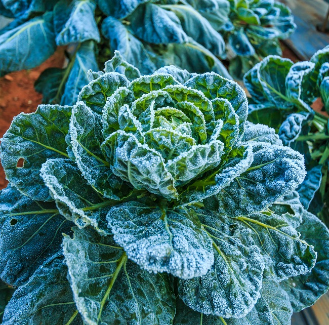 frosted-savoy-cabbage