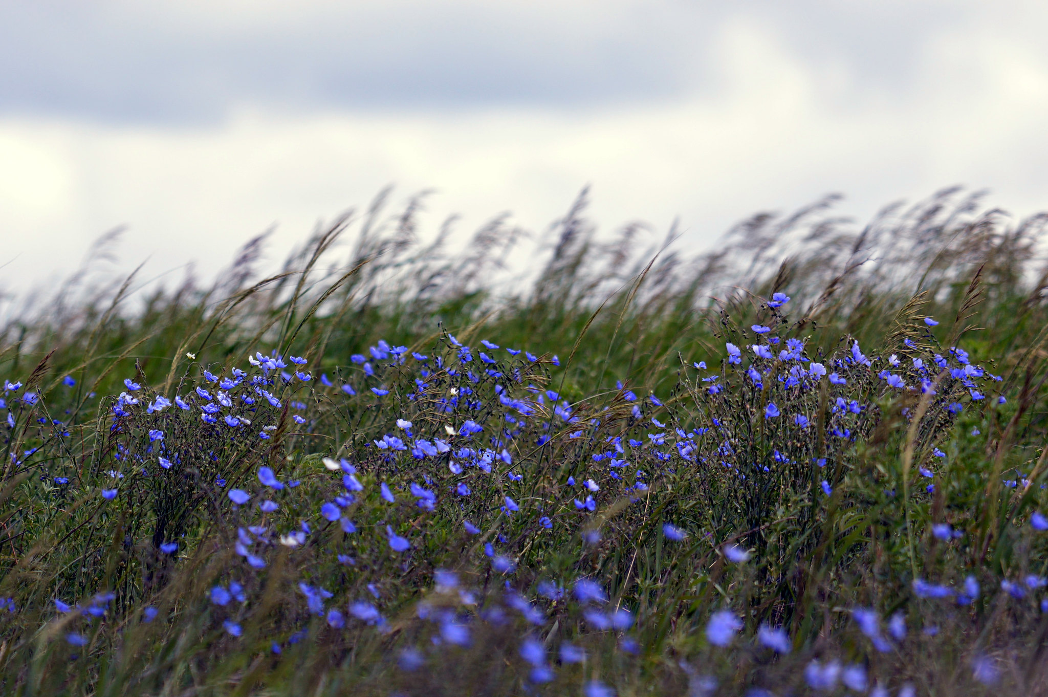 Native Prairie with Purple Phlox