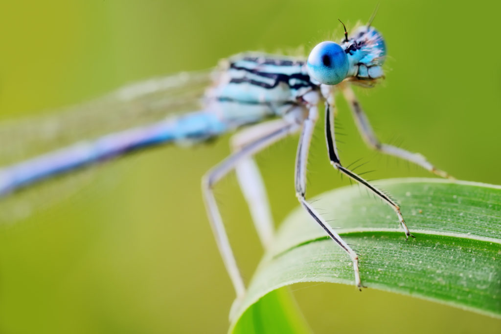 blue common damselfly on a blade of grass
